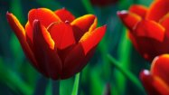nawak_tulip_wallpaper_2_by_pierre_lagarde-db3t8nz
