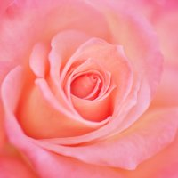 Rose by 500px