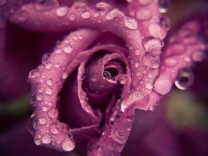 tornado_rose_by_sixthcrusifix-d3fvwmf