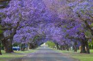 Jacaranda-Trees-Grafton-_DSC2021__700